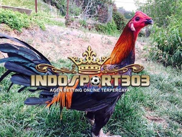 peruvian gamefowl, ayam petarung, ayam peru, ciri khas, kelebihan