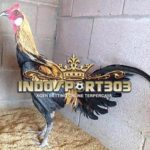 Ayam Petarung Peruvian Gamefowl Yang Ditakuti