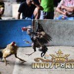 Pukulan Pamungkas Ayam Bangkok