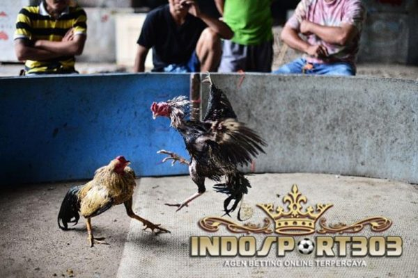 ayam bangkok, jenis pukulan, teknik, gaya bertarung, ciri khas