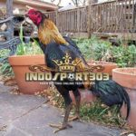 Rahasia Botoh Tua Ayam Bangkok Selalu Menang
