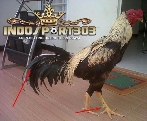 ayam bangkok suro, ayam aduan, ayam petarung, ayam laga, ciri, jenis