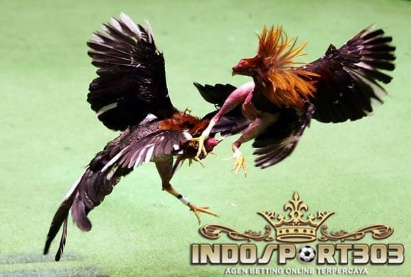 ayam bangkok, ayam laga, ayam aduan, teknik, adu ayam, laga ayam