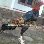 Tips Membentuk Otot Kaki Ayam Petarung