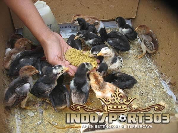 Ciri Anakan Ayam Bangkok Super