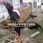 Kelebihan dan Kekurangan Ayam Bangkok Jragem