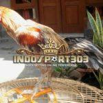 Ayam Bangkok Klawu Unggulan