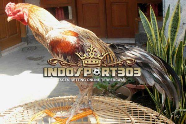 ayam bangkok klawu, ayam petarung, jenis, ciri khas, kelebihan, kelemahan