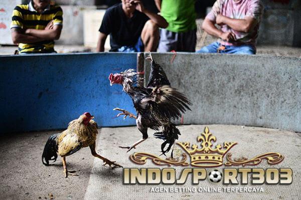 ayam bangkok, teknik, pukul terbang, ayam saigon, ayam petarung