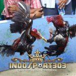 Katuranggan Ayam Bangkok Suro Berkualitas Juara