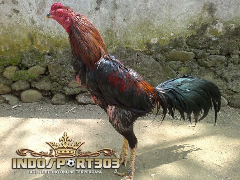 ayam bangkok suro, ayam petarung, jenis, kelebihan, ciri khas