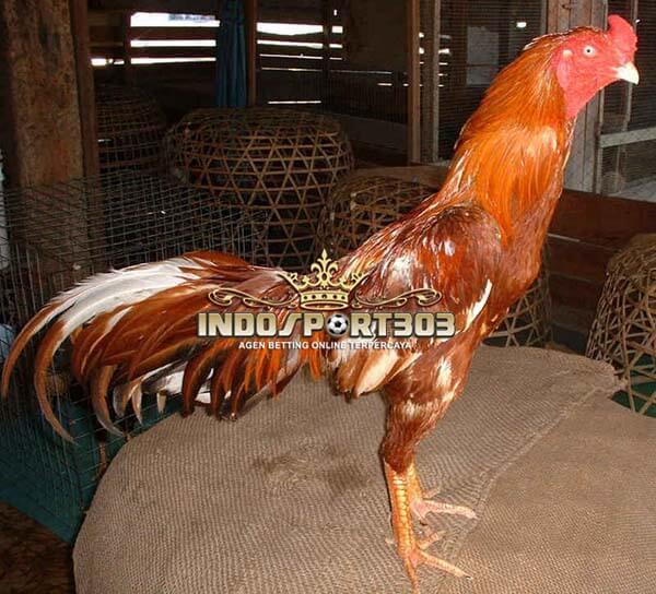 ayam bangkok, wangkas emas, ciri khas, kelebihan