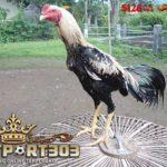 Mengenal Ayam Bangkok Wido