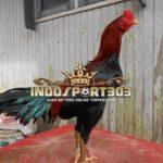 Ayam Birma Asli, Kenali Ciri Khasnya