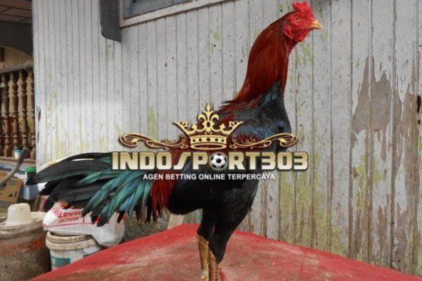ayam birma asli, ciri khas, kelebihan, ayam petarung