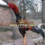 Brazilian Gamefowl, Ayam Petarung Brazil Asli