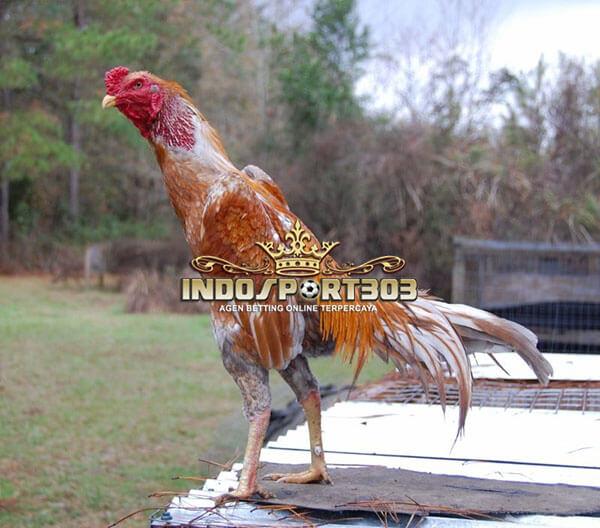brazilian gamefowl, ayam brazil, ayam petarung, jenis, ciri khas, kelebihan