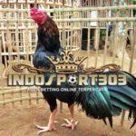Ayam Ciparage Aduan, Asli Jawa