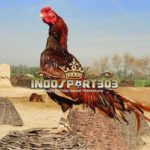 Keunggulan Ayam Petarung Asil