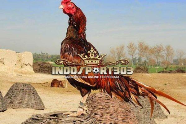 ayam asil, ayam petarung, ciri khas, kelebihan
