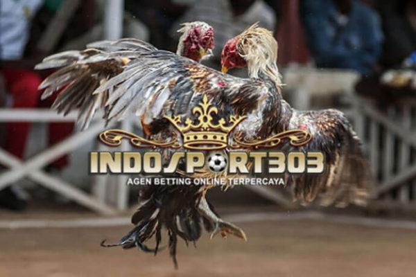 ayam petarung asli indonesia, ayam ciparage, ayam olagan, ayam tolaki, ayam banten, ciri khas, kelebihan