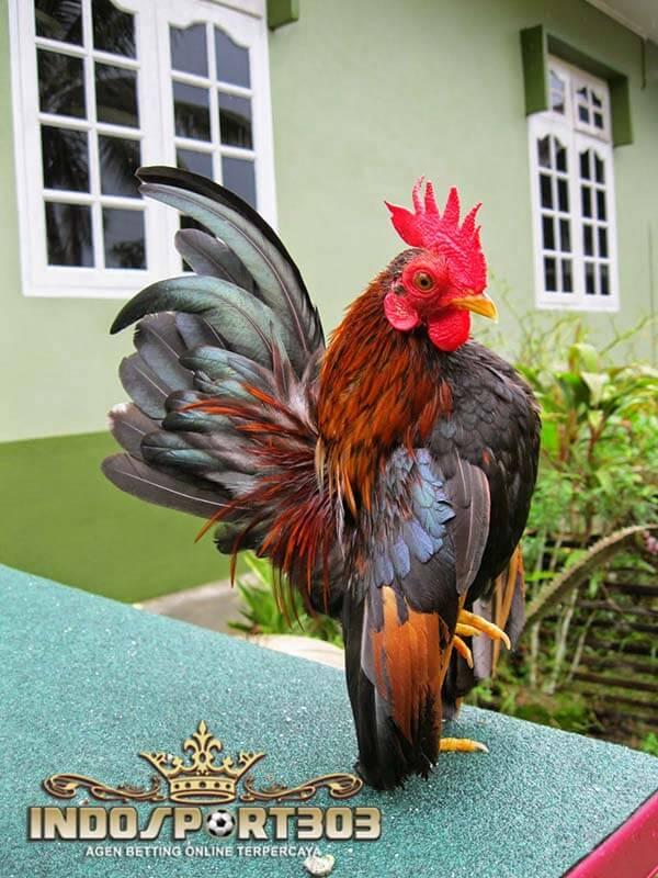 ayam serama, ayam hias, ciri khas, kelebihan