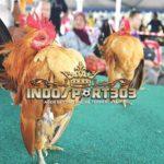 Keistimewaan Ayam Serama