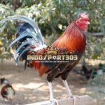 Jenis-Jenis Ayam Taji Dari Filipina