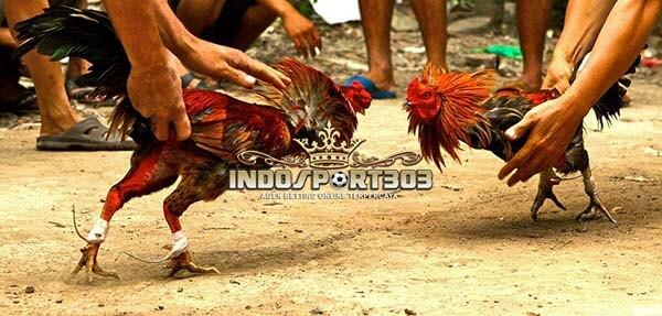 ayam taji, ayam petarung, filipina, ciri khas, jenis, kelebihan