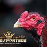 Ciri Mata Ayam Bangkok Unggulan