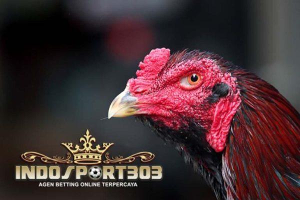 mata ayam bangkok, ciri khas, ayam petarung, jenis, kelebihan