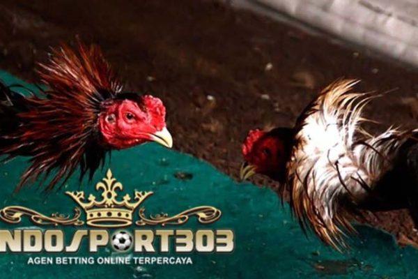 makanan penambah kekuatan ayam, ayam bangkok, ayam petarung, ayam aduan, tips, cara