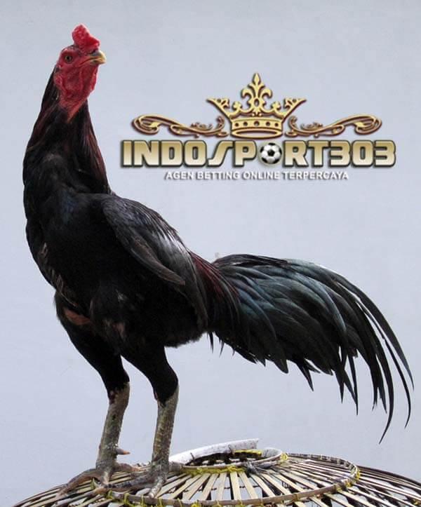 postur badan terbaik, ayam bangkok, ayam petarung, ayam aduan, ciri khas, kelebihan