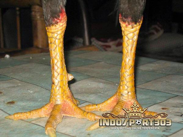 katuranggan putri kinurung, sisik, ayam petarung, ayam bangkok, ayam aduan, ciri khas, kelebihan