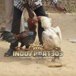 Tanda Ayam Petarung Yang Selalu Menang