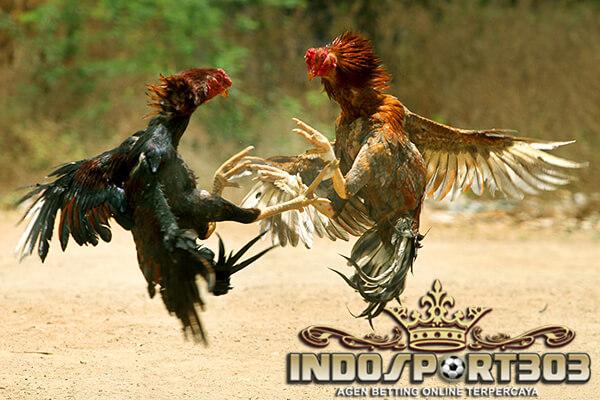 ayam petarung, selalu menang, tanda, ciri khas, tips