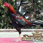 Tips Cepat Menumbuhkan Bulu Ayam Bangkok