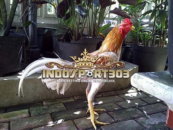 trend sabung ayam, ayam bangkok, pakan ayam, ayam petarung, ayam aduan, bisnis, peluang, usaha