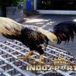 Kelebihan Ayam Bangkok Wido Dalam Dunia Sabung Ayam