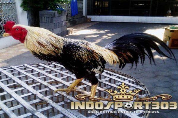 ayam bangkok wido, ayam petarung, ciri khas, jenis, kelebihan