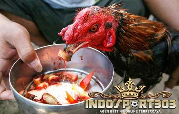 ayam aduan, ayam petarung, cara ampuh, menjaga kondisi prima ayam bangkok, tips
