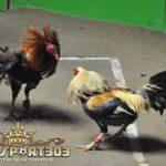 Jangan Lakukan Hal Ini Pada Ayam Aduan Anda