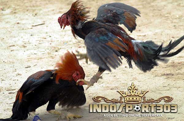 teknik ngalung, ayam bangkok, teknik kuda lari, ayam birma, ayam petarung, ayam aduan, ciri khas, kelebihan