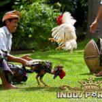 Paling Disegani Botoh Tua, Ayam Aduan Unggulan
