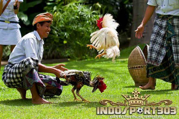 ayam aduan unggulan, ayam petarung, ayam bangkok, ayam saigon, ayam birma, ayam shamo, ciri khas, kelebihan, keunggulan