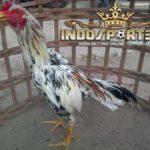 Blorok Madu Tembus, Ayam Bangkok Pilihan