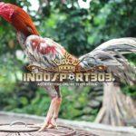 Kelebihan Ayam Bangkok Klawu / Kelabu