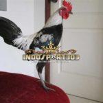 Jenis Ayam Birma Paling Populer