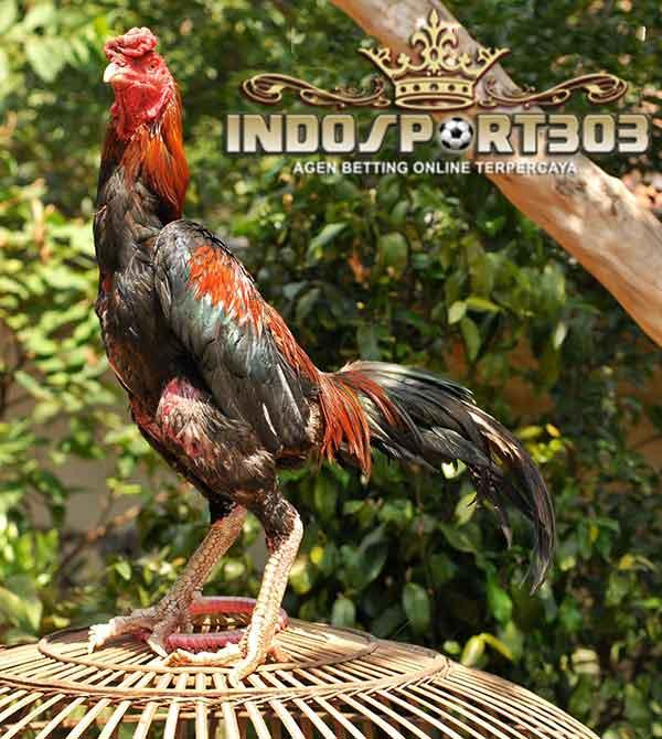kelebihan, ciri khas, ayam panus, thailand, ayam bangkok, ayam petarung, ayam aduan