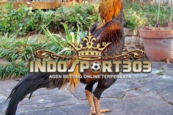 ayam bangkok, ayam petarung, ciri khas ayam aduan unggul, kelebihan